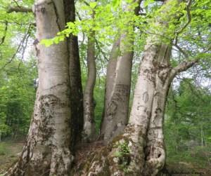 L'albero di Faggio salvato sulla Sila - ph G.Congi