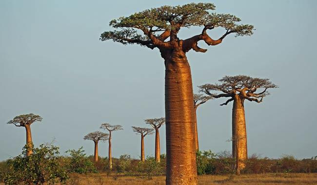 Anello dell'albero del pene