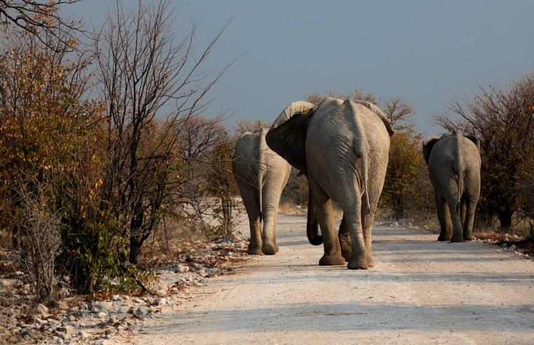 Dove vanno a morire gli elefanti del Botswana? Laghi e giungla ne custodiscono i cimiteri