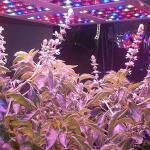 LEDs y horticultura. Entre la eficiencia energética y la necesidad de los cultivos