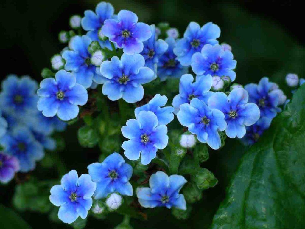 Il fiore nontiscordardime, simbolo dei nonni
