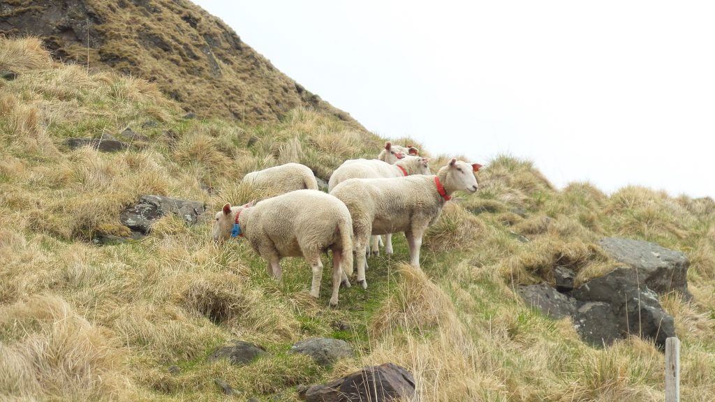 pecore ad eggum lofoten