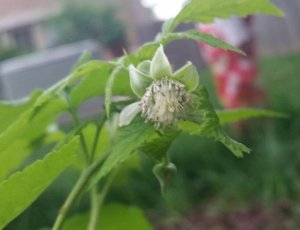 July 13. Joan J flowering from a relatively recently planted bare root raspberry cane.
