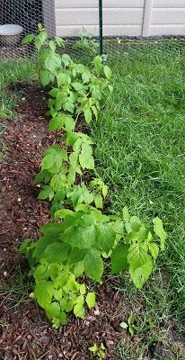 August 3. Raspberry canes growing in the shadier row.