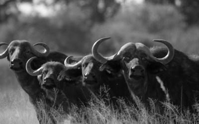 Buffels in Moremi Okavango Botswana