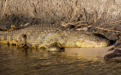 Krokodil in de Chobe rivier in Botswana