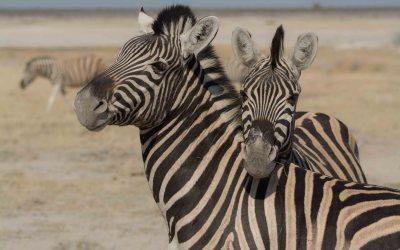 Zebra's in Etosha NP Namibië