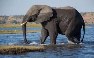 Olifant heeft Chobe rivier in Botswana overgezwommen