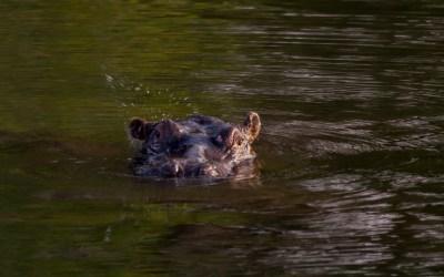 Hippo nijlpaard Zambezi Zambia