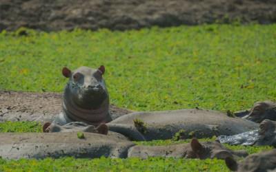 Baby hippo nijlpaard Luangwa rivier