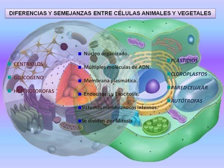 diferencias-y-semejanzas-entre-la-celula-animal-y
