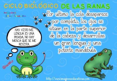 Ciclo biológico de las ranas para niños (6)