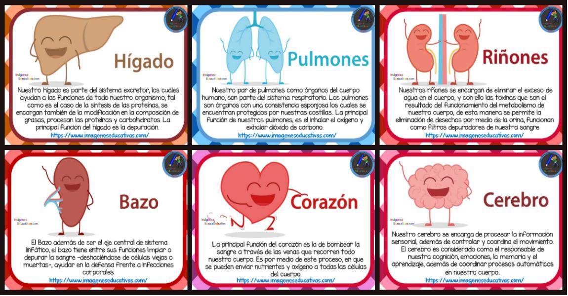 Tarjetas De Los órganos Del Cuerpo Humano Para Niños De Primaria