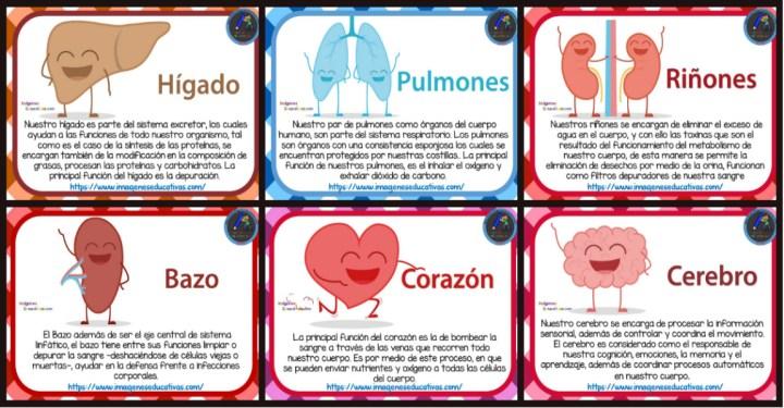 Tarjetas De Los órganos Del Cuerpo Humano Para Niños De Primaria Imagenes Educativas
