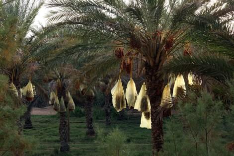 Palmiers dattiers, palmeraie de Ksar Ghilane – Tunisie 2012
