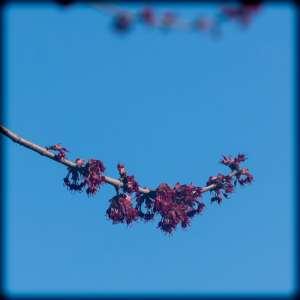 cherry blossom, pink, bud, spring, bloom
