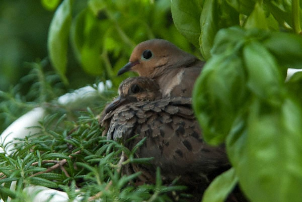 Doves, babies, nesting herbs
