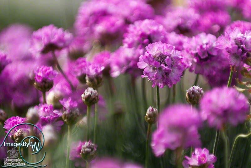 field, purple flowers