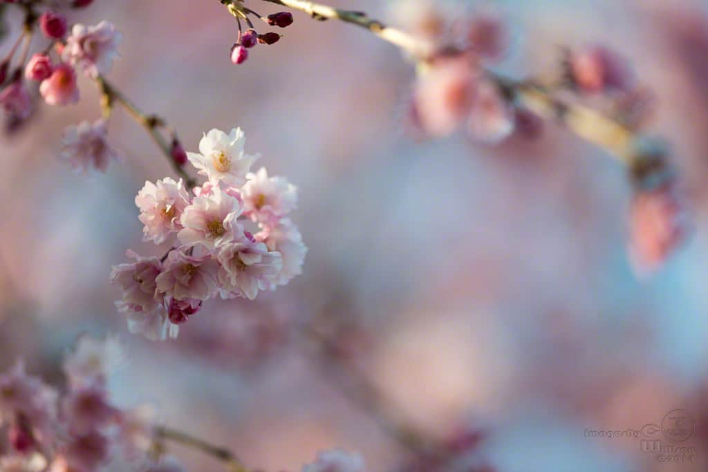 cherry, blossoms, pink, bokeh