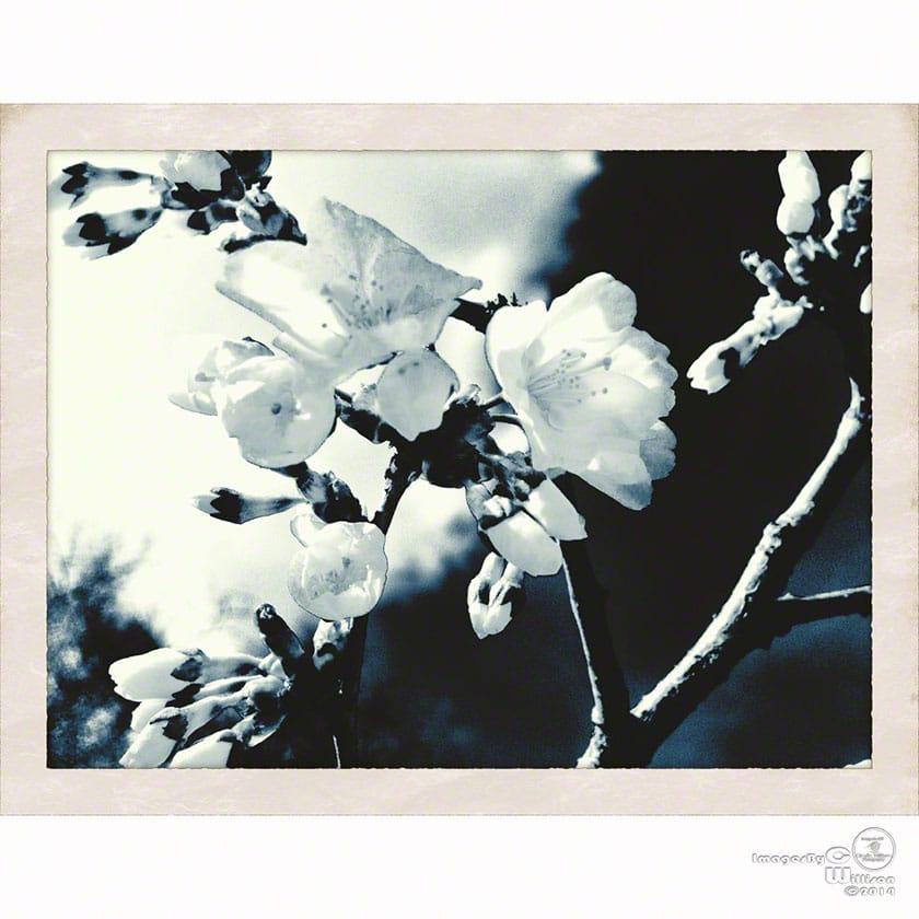 b&w spring blossom