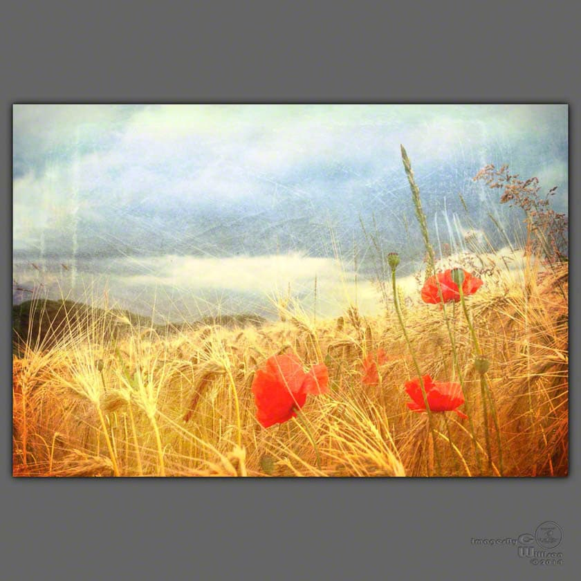 poppies, stormy, sky, field