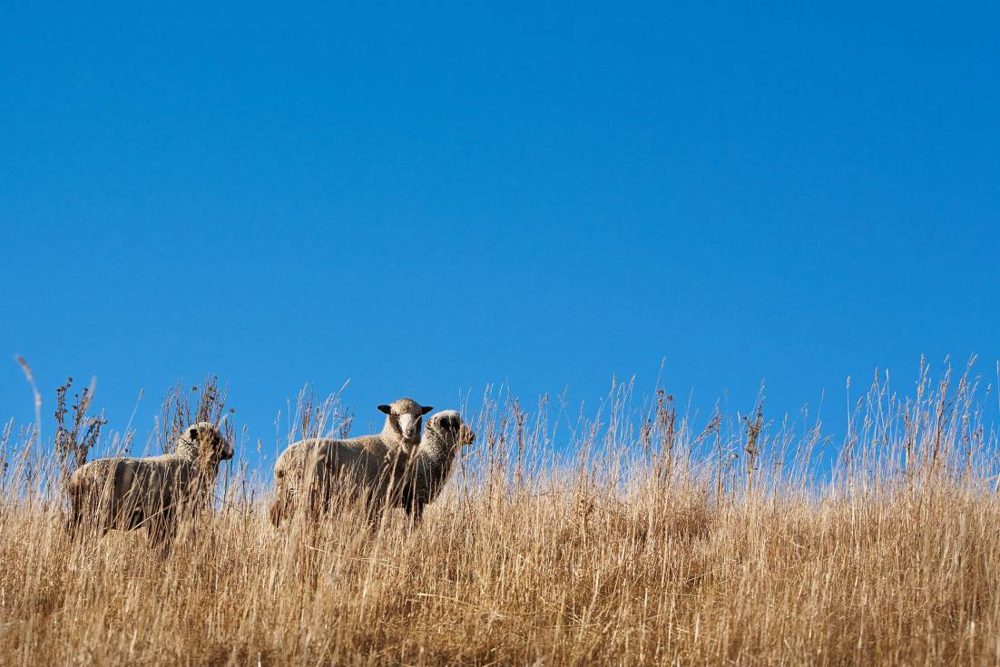 10014-0035-Image-Workshop-Melbourne-photographer-New-Zealand-merino-sheep-wool-farm