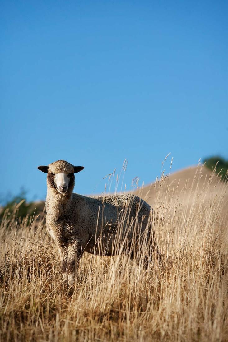 10014-0041-Image-Workshop-Melbourne-photographer-New-Zealand-merino-sheep-farm-wool