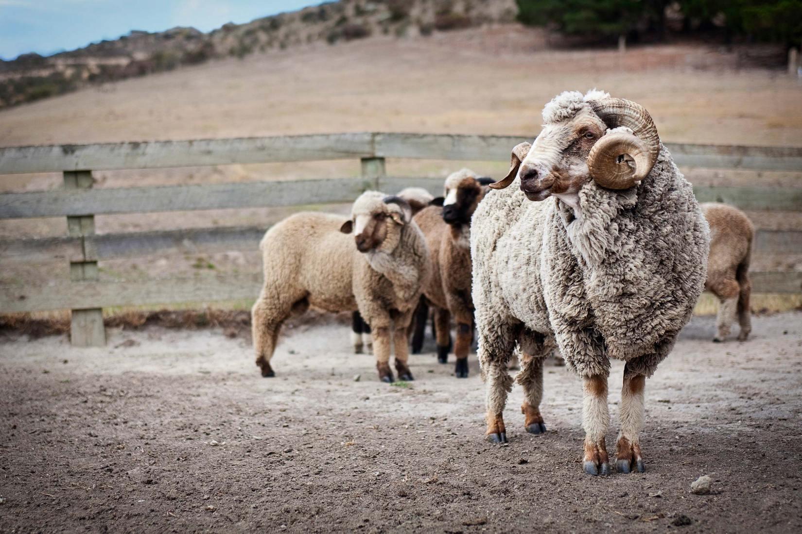 10014-1147-Image-Workshop-Melbourne-photographer-New-Zealand-merino-sheep-farm-wool-ram