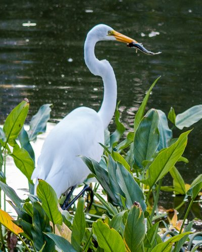 Lunchtime for an Egret
