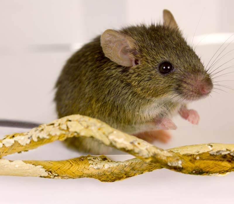 rodent-control-rat