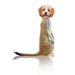 Meerkat with a pupy head showing identity theft.