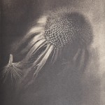 Cianótipo impresso em papel para aquarela, tonalizado com chá preto. Por Ligia Minami.