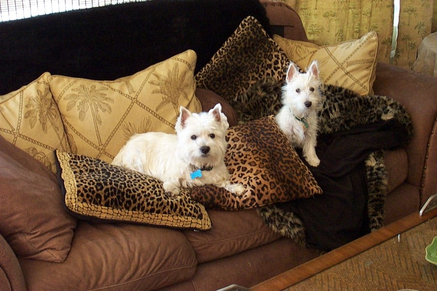 Westies: Baxter and Bella's Ancestry Lineage