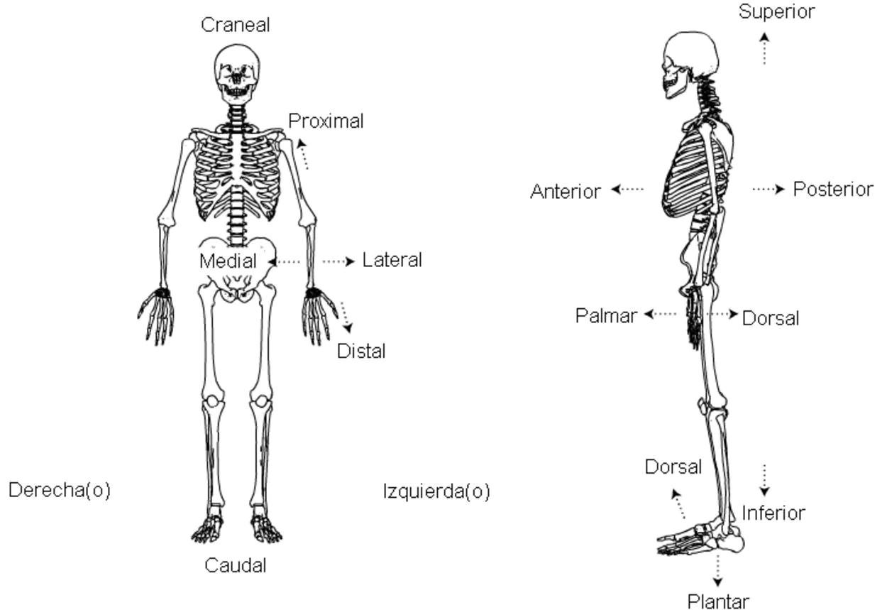 Planos Y Movimientos Usados En Anatomia Macroscopica