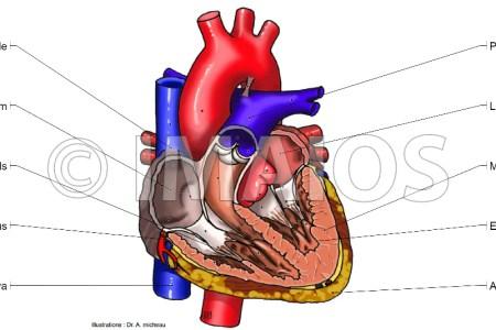 interior inferior border of heart » Electronic Wallpaper ...