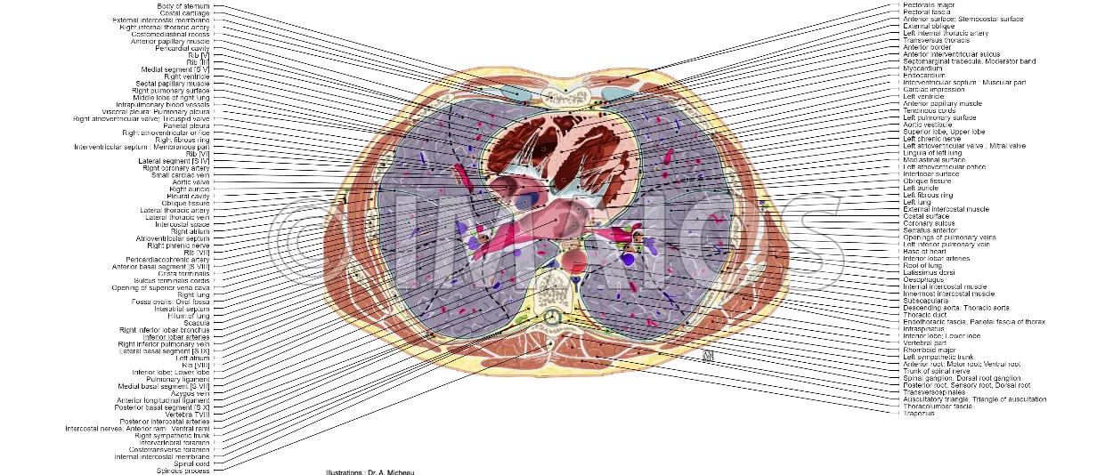 Abdomen Sectional Anatomy Pelvis Cross Module
