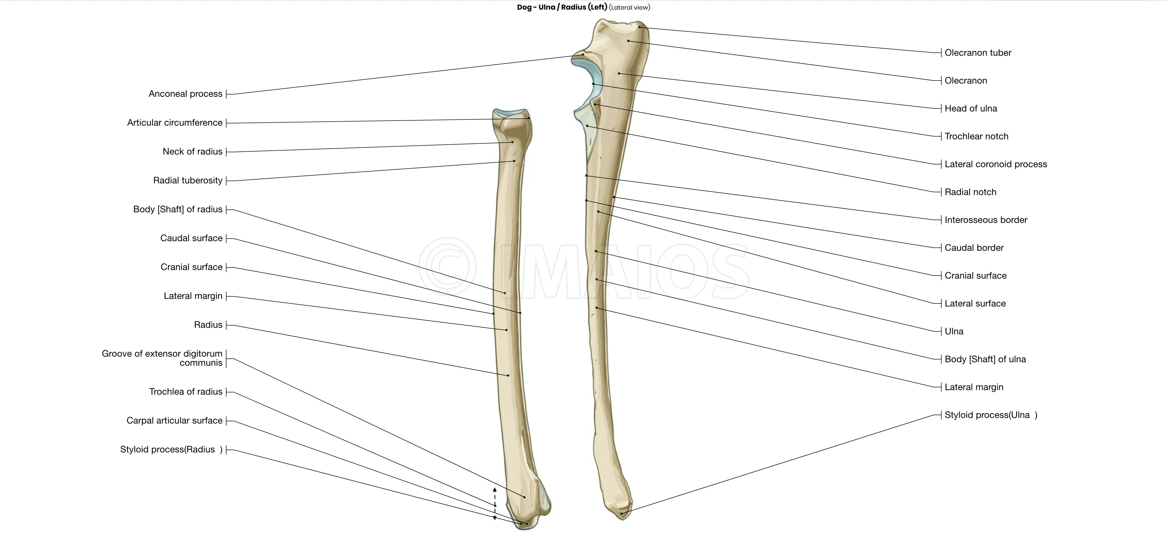 Canine Osteology Illustrations