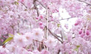 東京都北区で毎年開催している「桜ウォーク」初参加してきました~