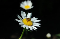 زنبور عسل در رومیه