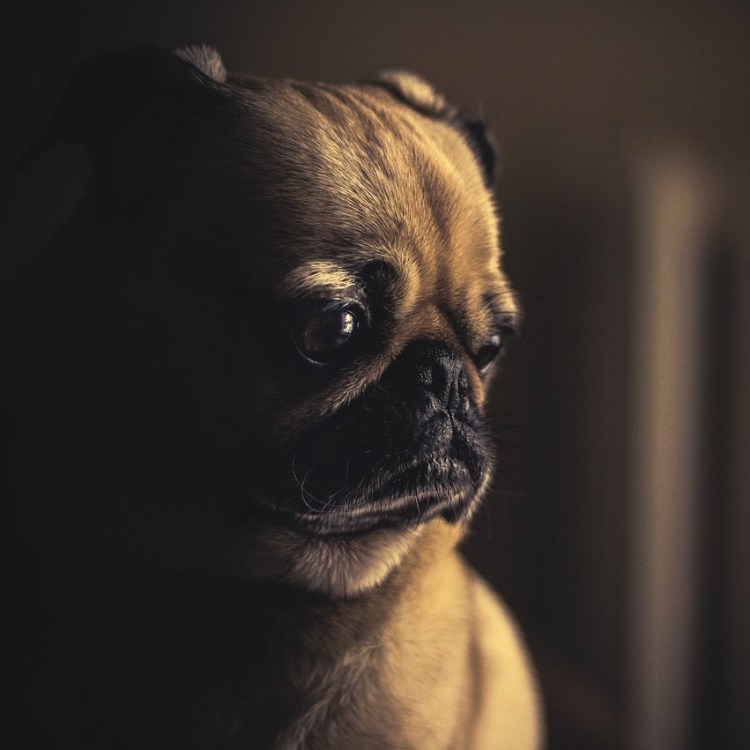 Contemplative pug staring down