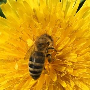 IMG_0928 Honigbiene
