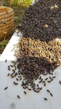 De bijen lopen in optocht