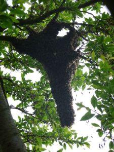 Bienenschwarm, Schwarm, Volk,Bienen