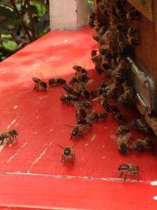 Schwarmkasten mit Bienenschwarm