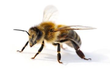 honigbiene ein steckbrief zur honigbiene