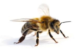 Arbeitsbiene, Biene