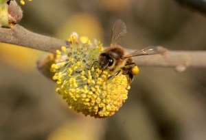 Biene sammelt Pollen für Bienenbrot