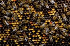 Pollenwabe,Pollenbrett