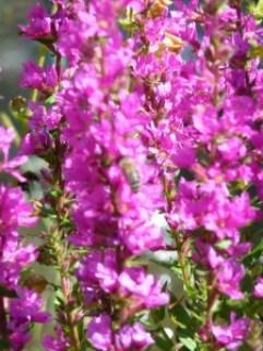Tracht-Pflanze mit Biene