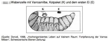 Varroa Entwicklung Ei-Ablage
